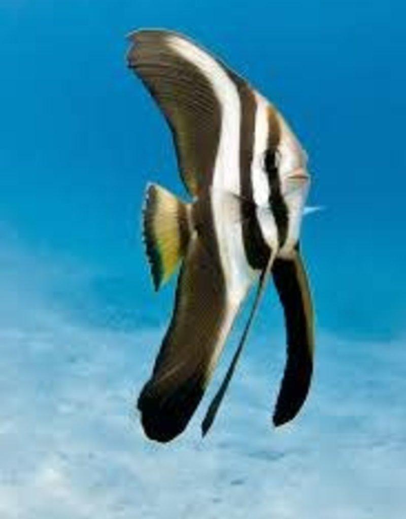 Batfish - Saltwater