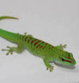 Crimson Day Gecko