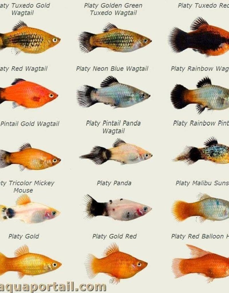 Assorted Platy - Freshwater