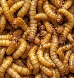 Giant Mealworms Singles - Live Feeder