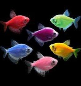 Electric Glofish Tetra - Freshwater