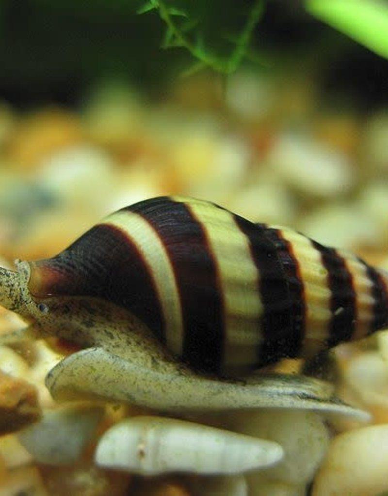 Assassin Snail - Freshwater