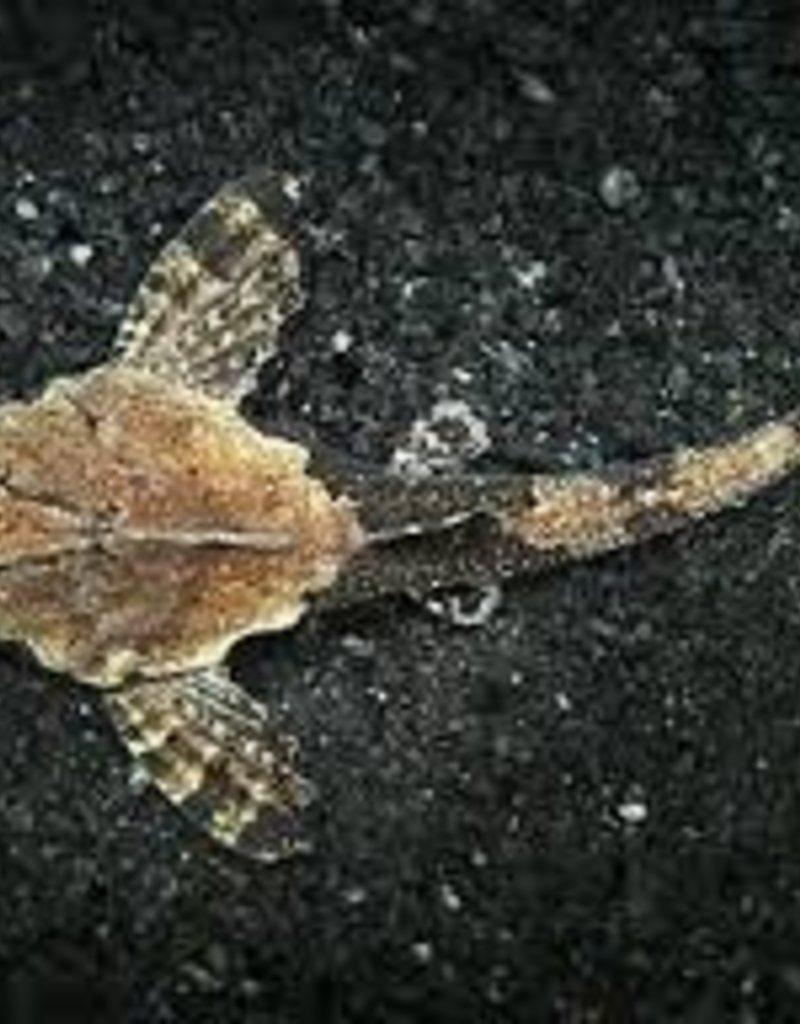 Banjo Catfish - Freshwater