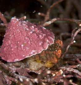Pink Turban Snail - Saltwater