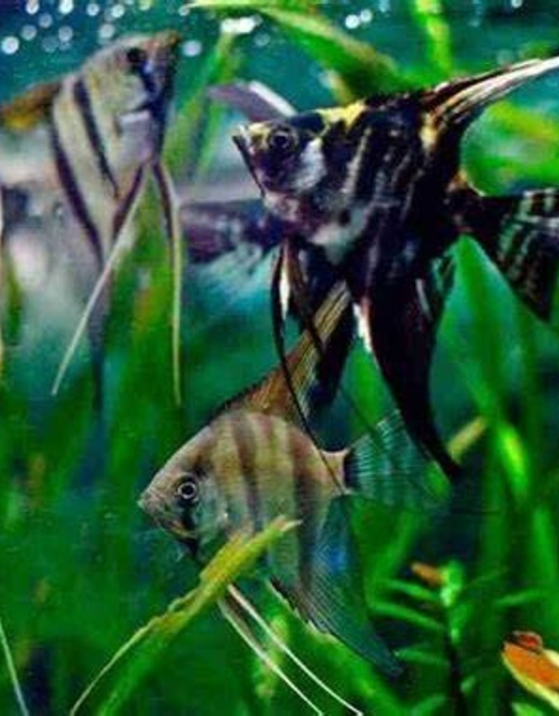 Angel Fish Assorted - Freshwater