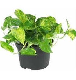 "Potted Gold Pothos Plants - 6"""