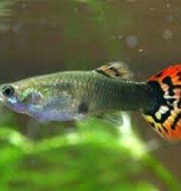 Fancy Female Guppies - Freshwater