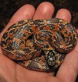 Flame Brooks King Snake