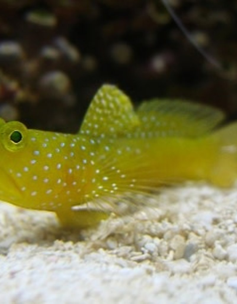 Harbour Watchman Goby - SHOW - Salt Water Fish