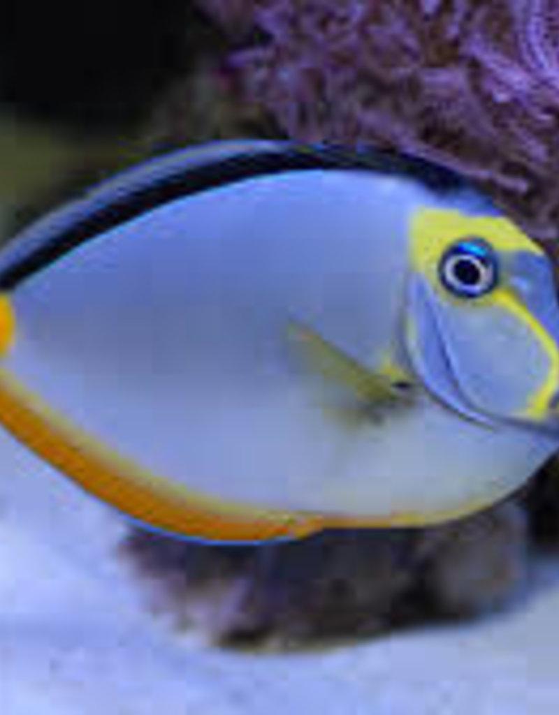 Naso Tang - Saltwater