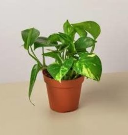 Potted Golden Pothos Plants - 3.5""
