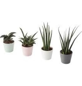 Assorted Potted Sanseviera Plants - 3.5""