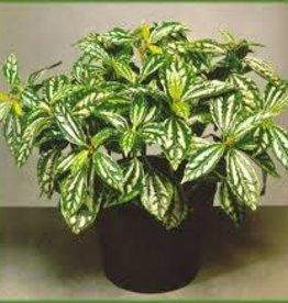 """Potted Pilea Aluminum Plants - 3.5"""""""