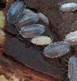 Skirted Isopod