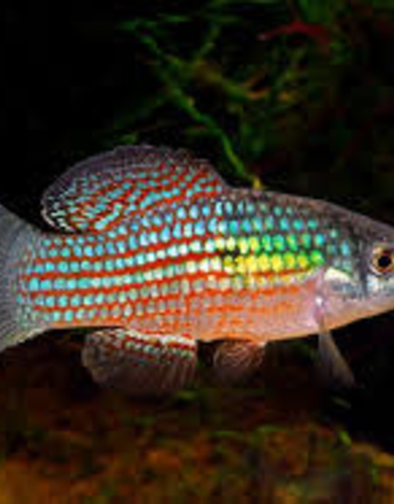 American Flag Fish - Freshwater