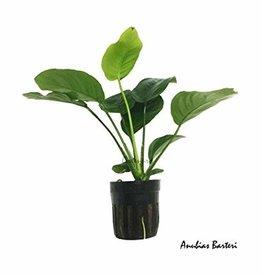 Assorted Anubias  - Live Plant