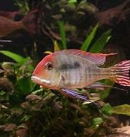 Red Head Tapajos Geophagus Cichlid - Freshwater