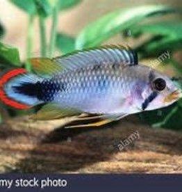 Apistogramma Pandurini Dwarf Cichlid - Freshwater