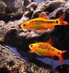 Golden Barb - Freshwater