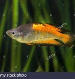 Parkinsoni Rainbowfish - Freshwater