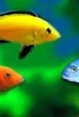 African Cichlid - Assorted - Freshwater