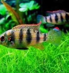 Thomasi Cichlid - Freshwater