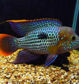 Green Terror Cichlid - Freshwater