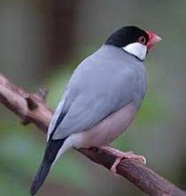Java Rice Finch
