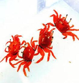 Red Burrowing Crab - Saltwater