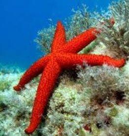 Large Red Echinastrea Starfish - Salt Water Fish