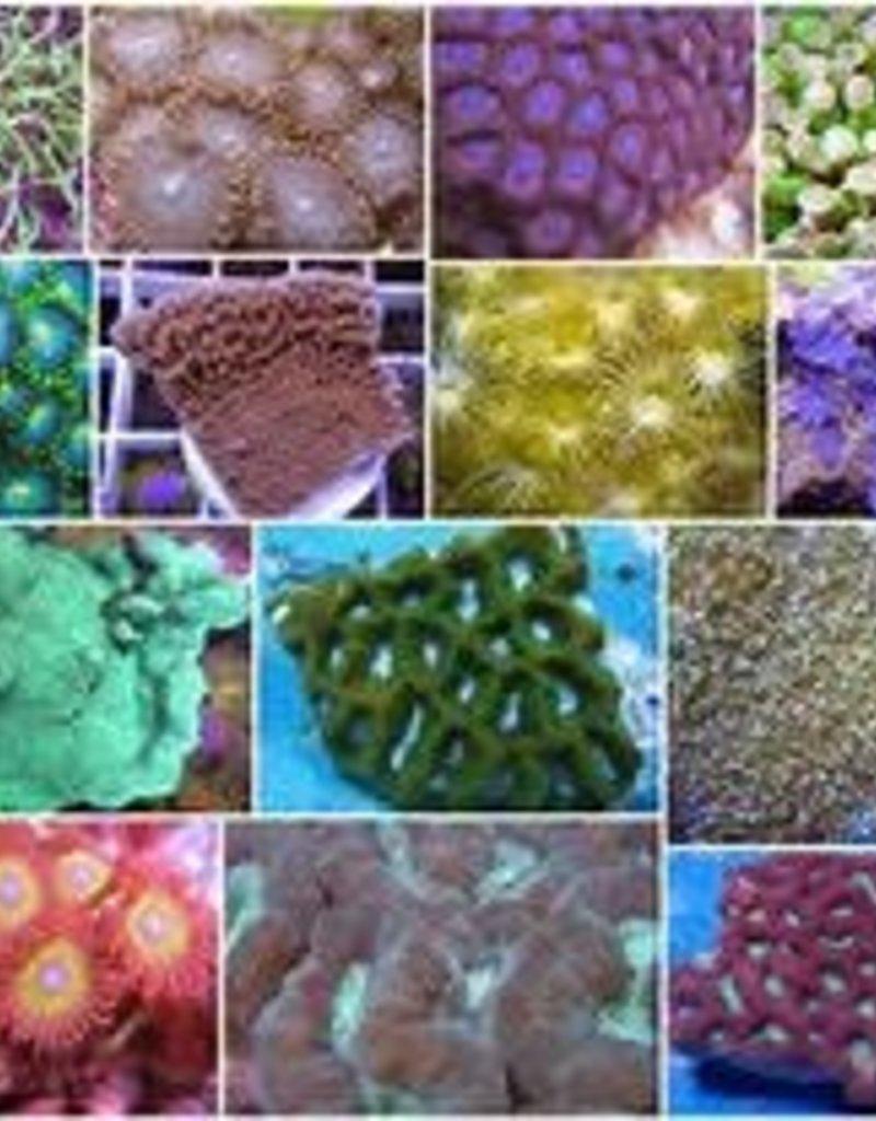 Assorted $40 Coral Frag - Saltwater