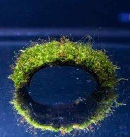 Christmas Moss on a Coconut Shell - Live Aquatic Plant