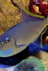 Blue Throat Trigger  Male - Saltwater