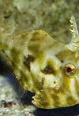 Aptasia Eating File Fish - Saltwater
