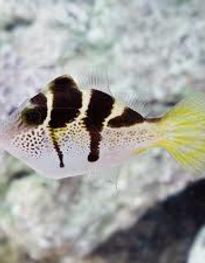 Black Saddle Filefish - Saltwater