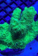Aussie Hydnophora Coral Frag - Saltwater
