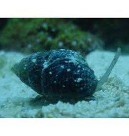 Nassarius Vibex Snail- Saltwater