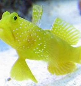 Yellow Watchman Goby - Saltwater