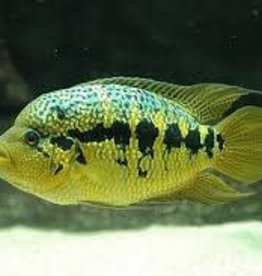 Loiselle's Cichlid  - Freshwater