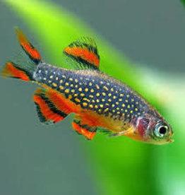 Galaxy Rasbora (Celestial Pearl Danio) - Freshwater