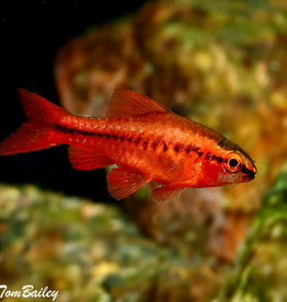 Fire Cherry Barb - Freshwater