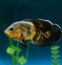 """Jumbo Oscar - Assorted - Freshwater (6"""")"""