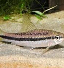 Flying Fox  (True Siamese Algae Eater) - Freshwater