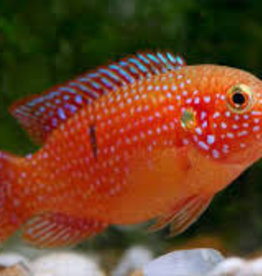 Jewel Cichlid - Large - Freshwater
