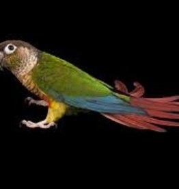 Green Cheek Conure - Parrot