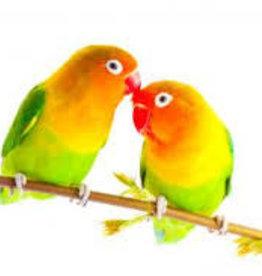 Lovebirds - Parrot