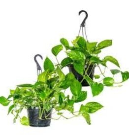 "Potted Golden Pothos Plants - 6"" Hanging Basket"