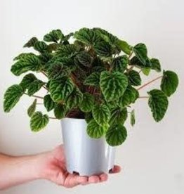 Potted Peperomia Green Ripple Plants - 3.5""