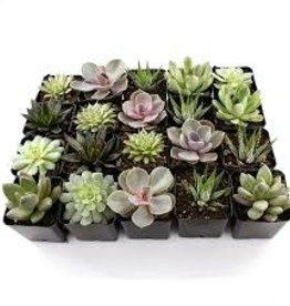 "Live Plant - Assorted Succulent - 2.25"""