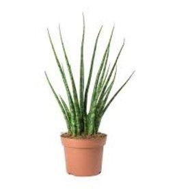 "Potted Sanseviera Mikado Fernwood Plants - 2.5"""